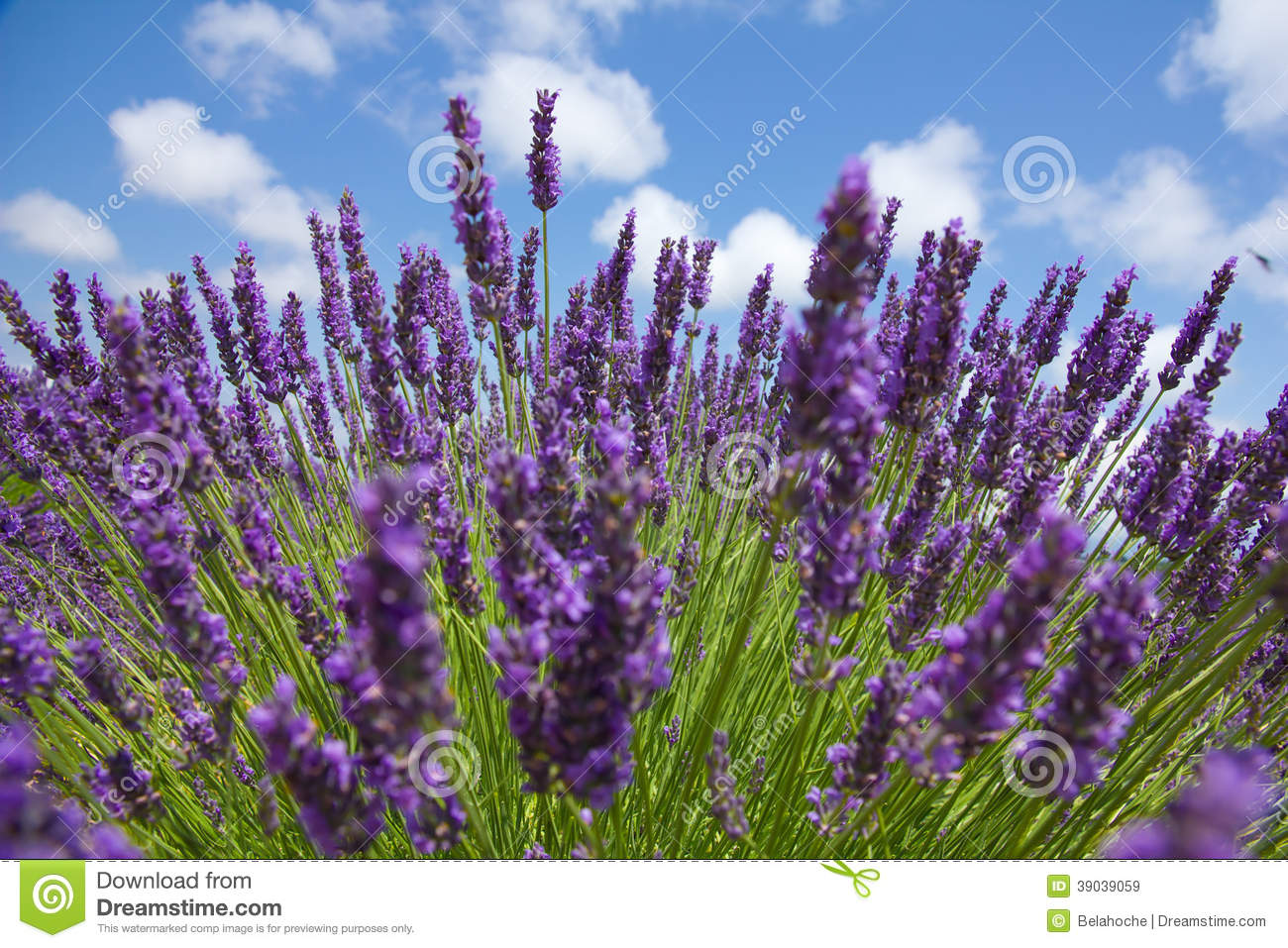 Close up of purple lavender in front of picturesque sky. Sommer