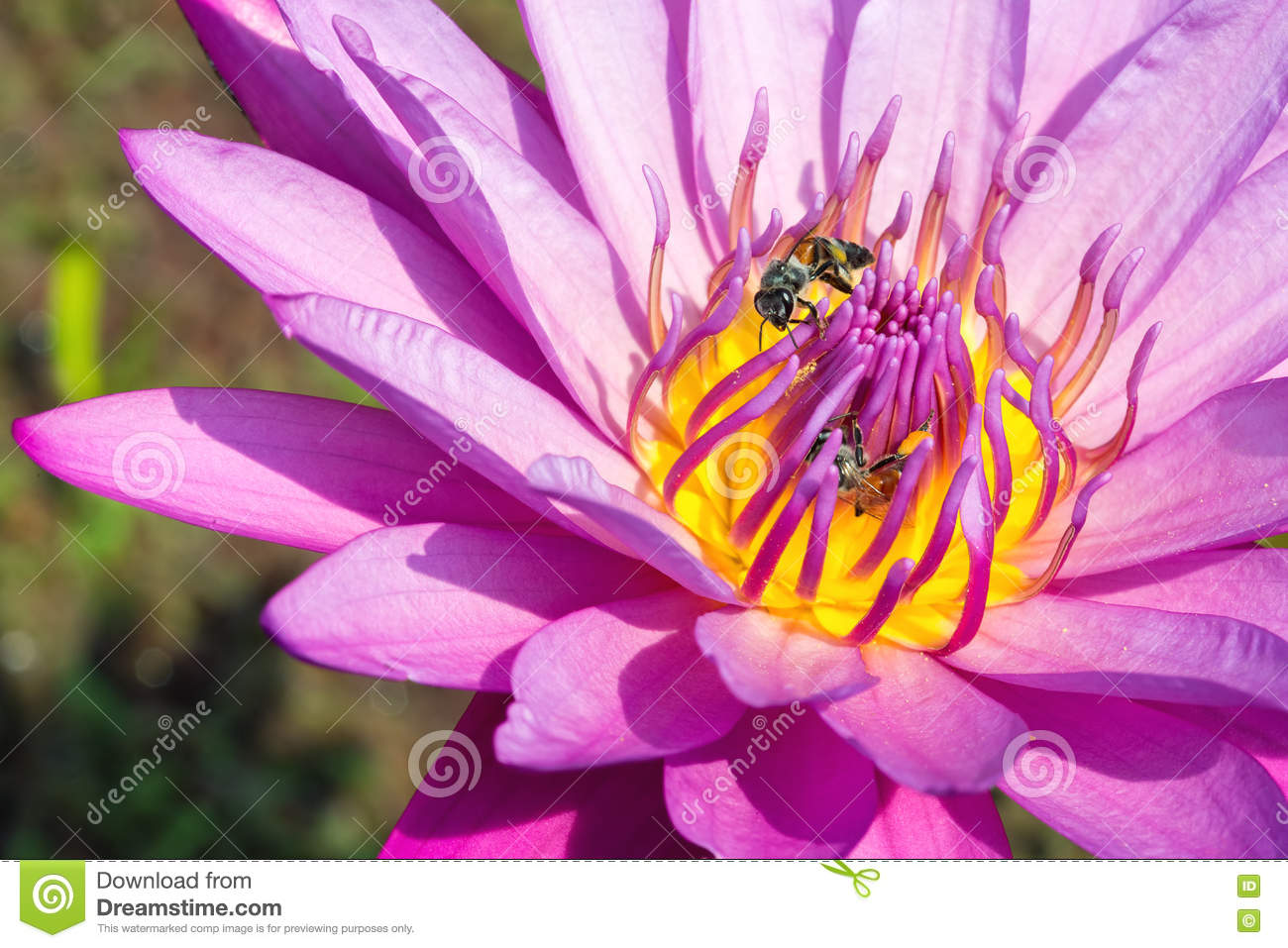 Close up of purple Lotus flower with honey bee
