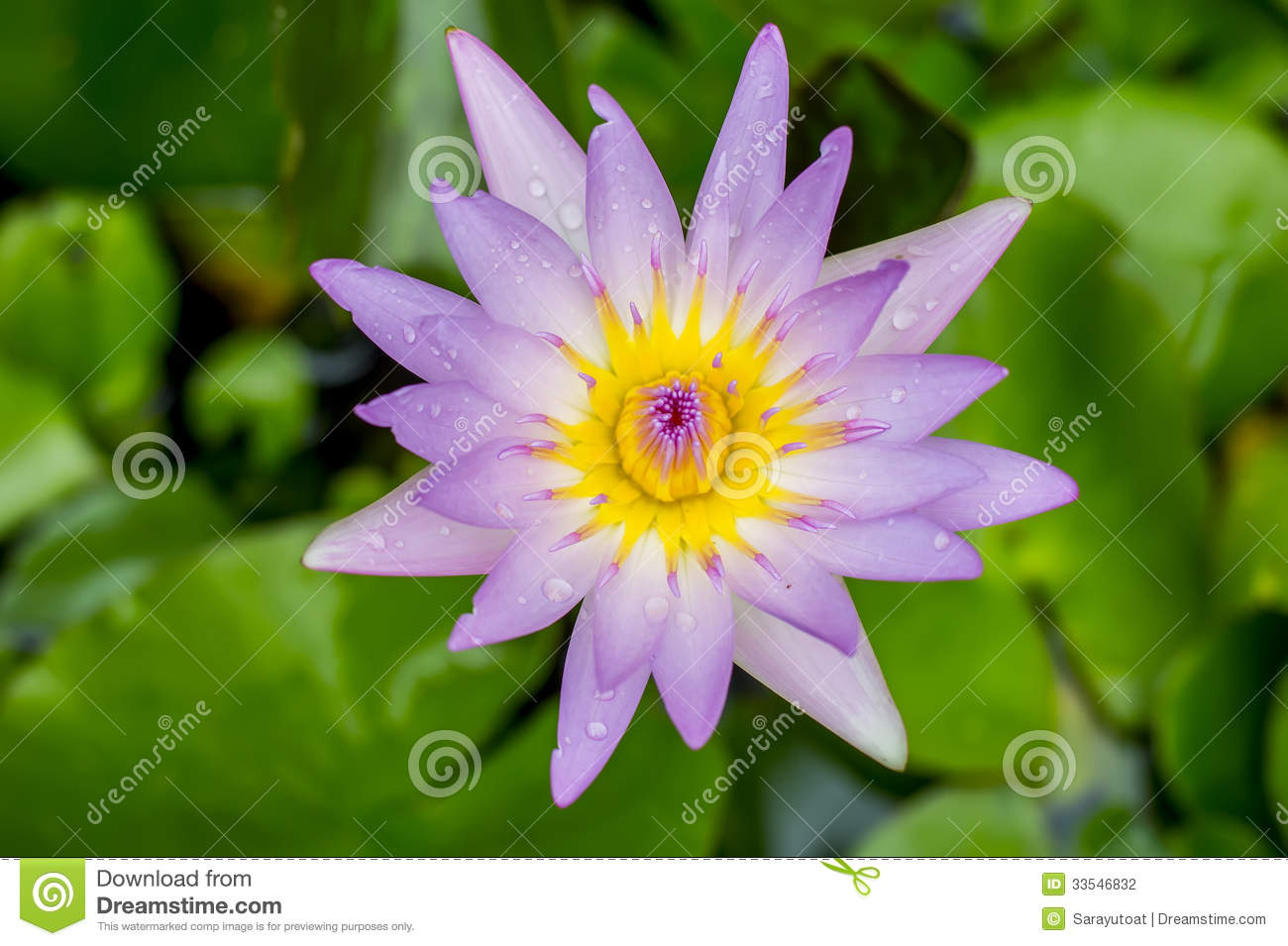 Close Up Purple Lotus Flower Water Lily And Drops Of Rain Water
