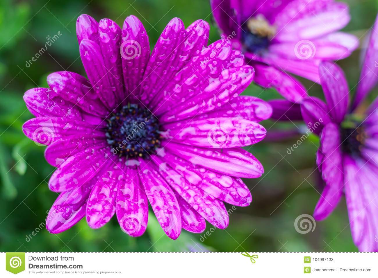Close up of purple osteospermum or african daisy flowers after close up of purple osteospermum or african daisy flowers after rain izmirmasajfo