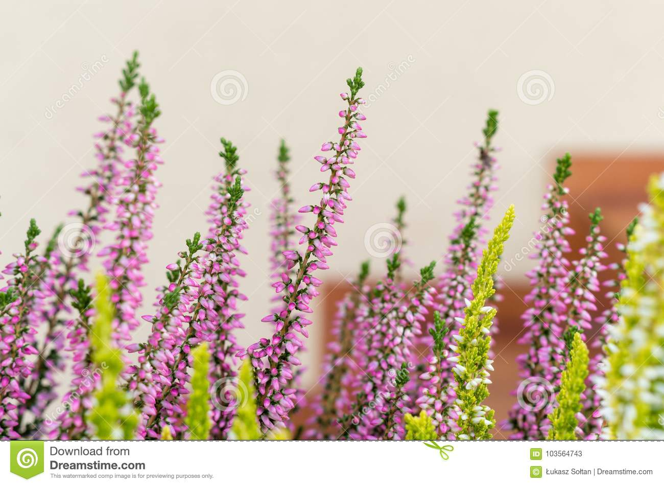 Close Up Of Purple And White Heather Flowers In The Pot On The S