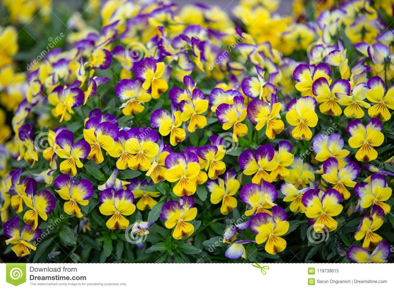 Close Up On Purple And Yellow Small Flowers Stock Image Image Of