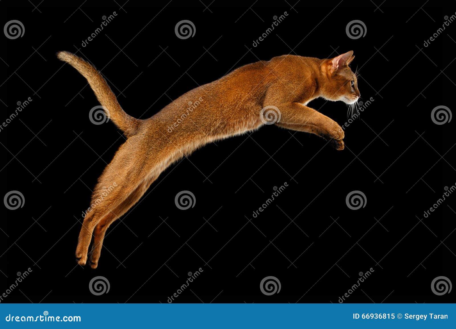Close up que salta o gato Abyssinian no fundo preto no perfil