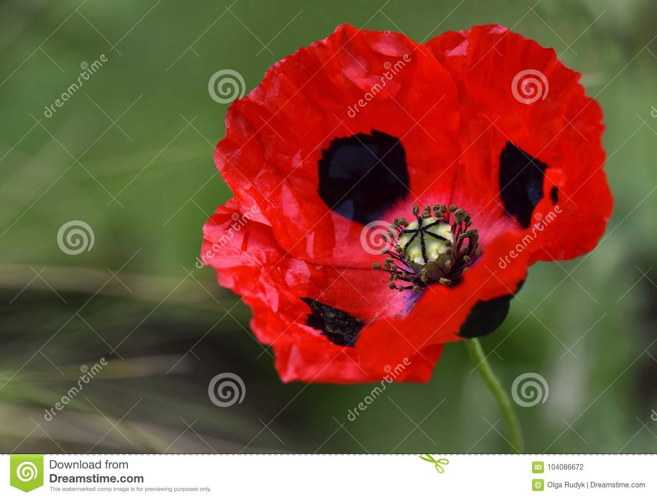 A close up of a red and black poppy flower stock photo image of download a close up of a red and black poppy flower stock photo image mightylinksfo
