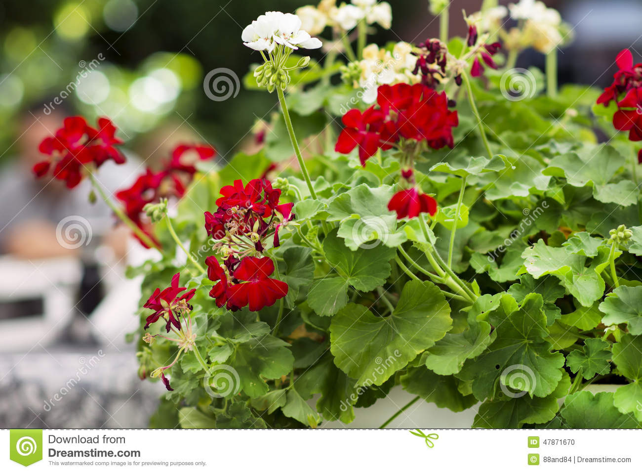 Close Up Of Red Blooming Geranium Flowers Stock Photo ...