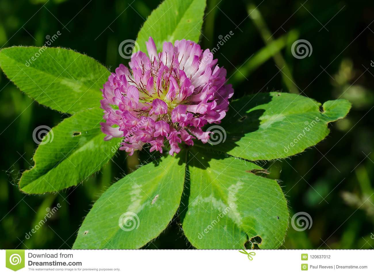 Download Red Clover - Trifolium Pratense Stock Photo - Image of flowers, canada: 120637012