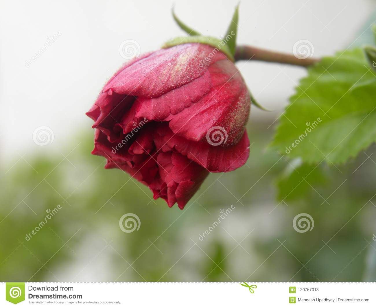 Red Color Flower Bud Of Hibiscus Plant Stock Image Image Of
