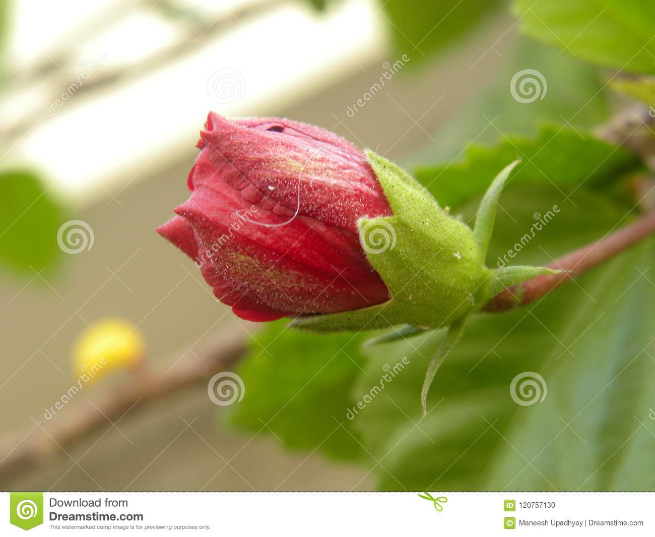 Red Color Flower Bud Of Hibiscus Plant Stock Photo Image Of