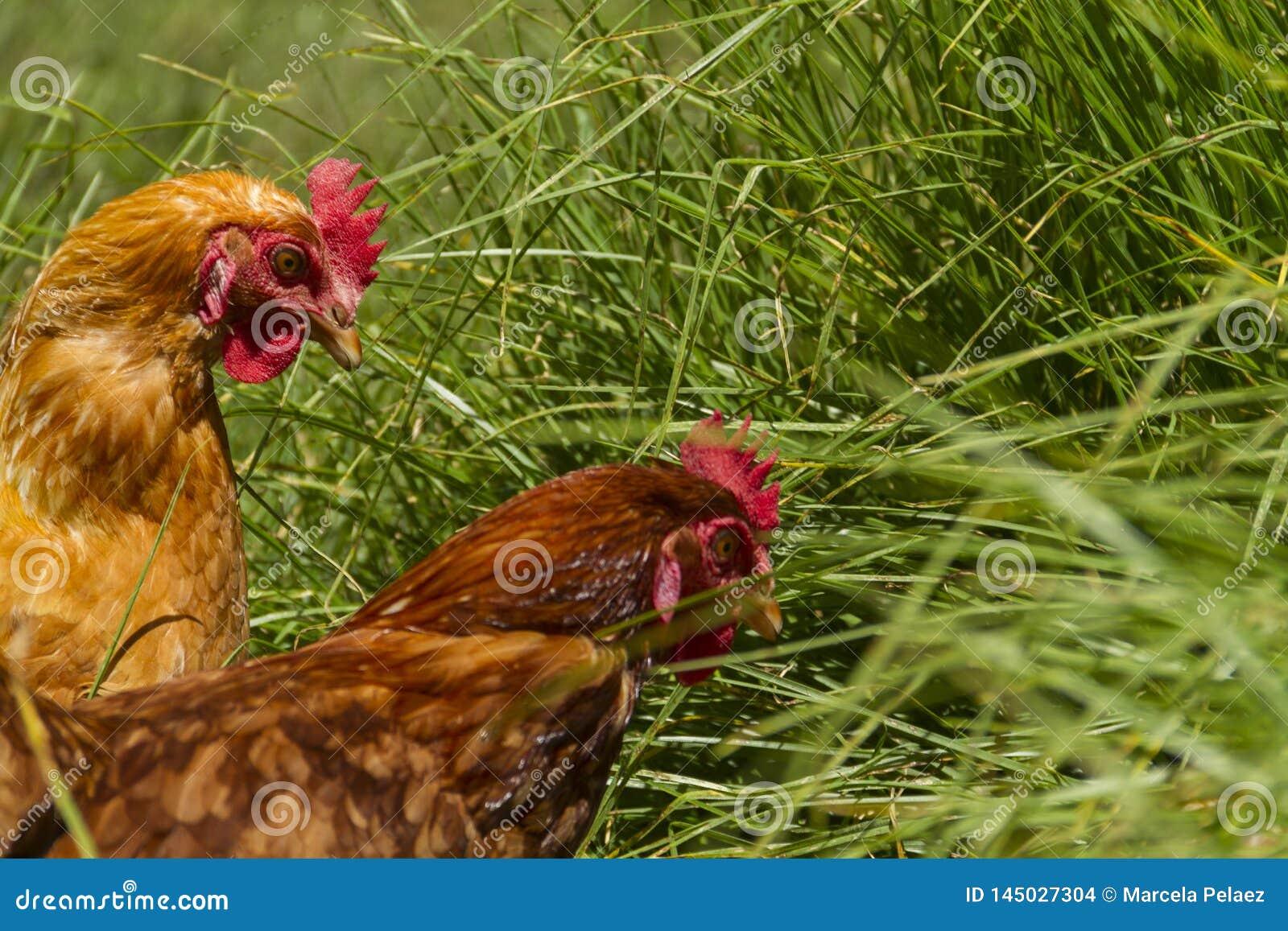 Free chickens in organic egg farm walking on green grass