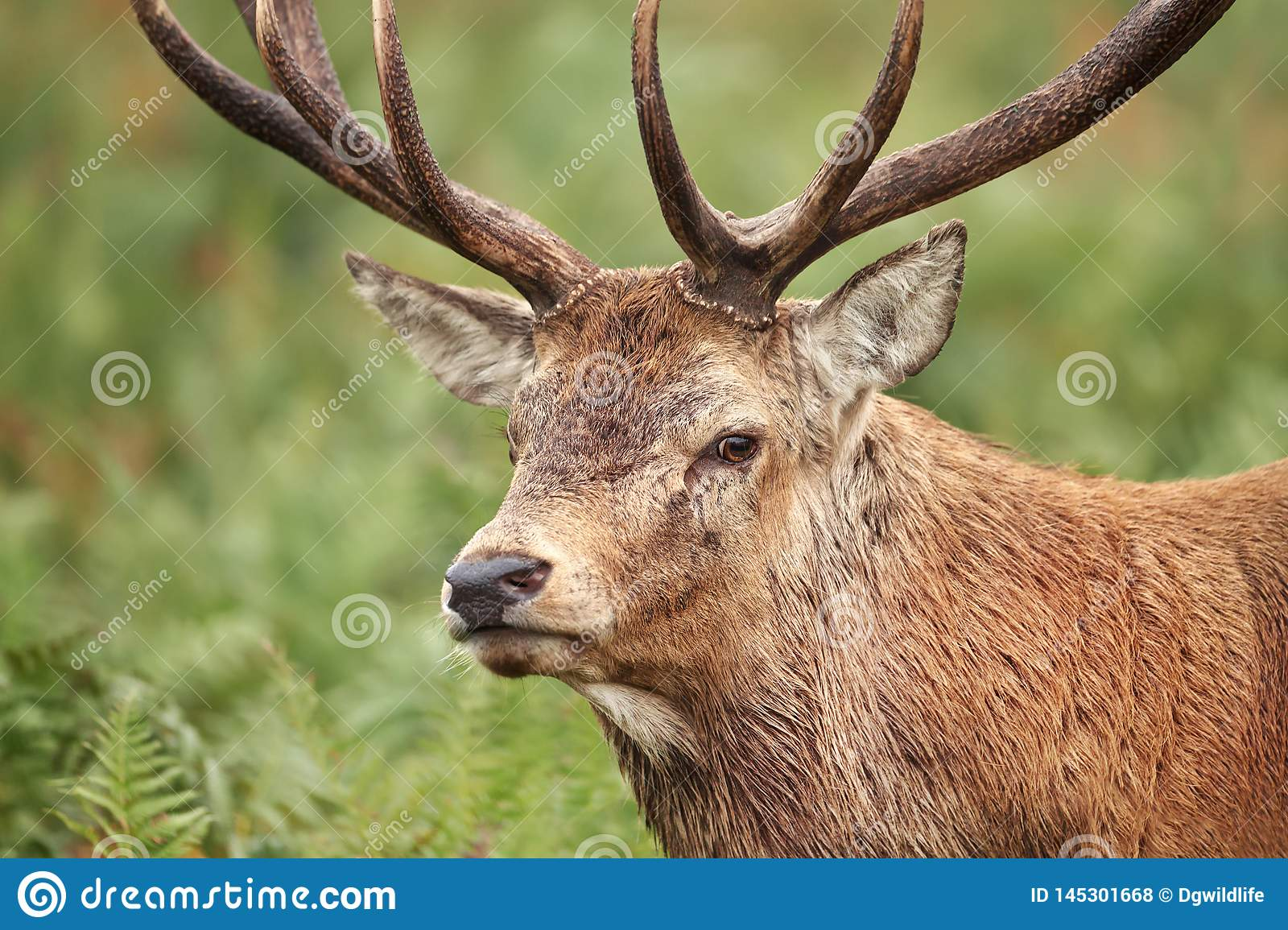 Close-up of red deer stag during rutting season