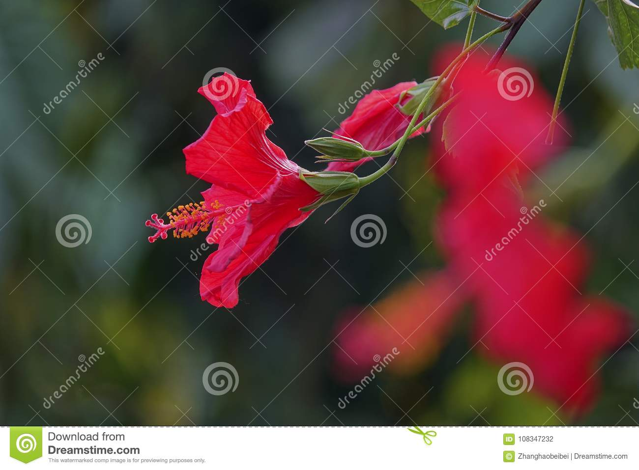 Chinese hibiscus stock photo image of blooming flower 108347232 royalty free stock photo izmirmasajfo Image collections