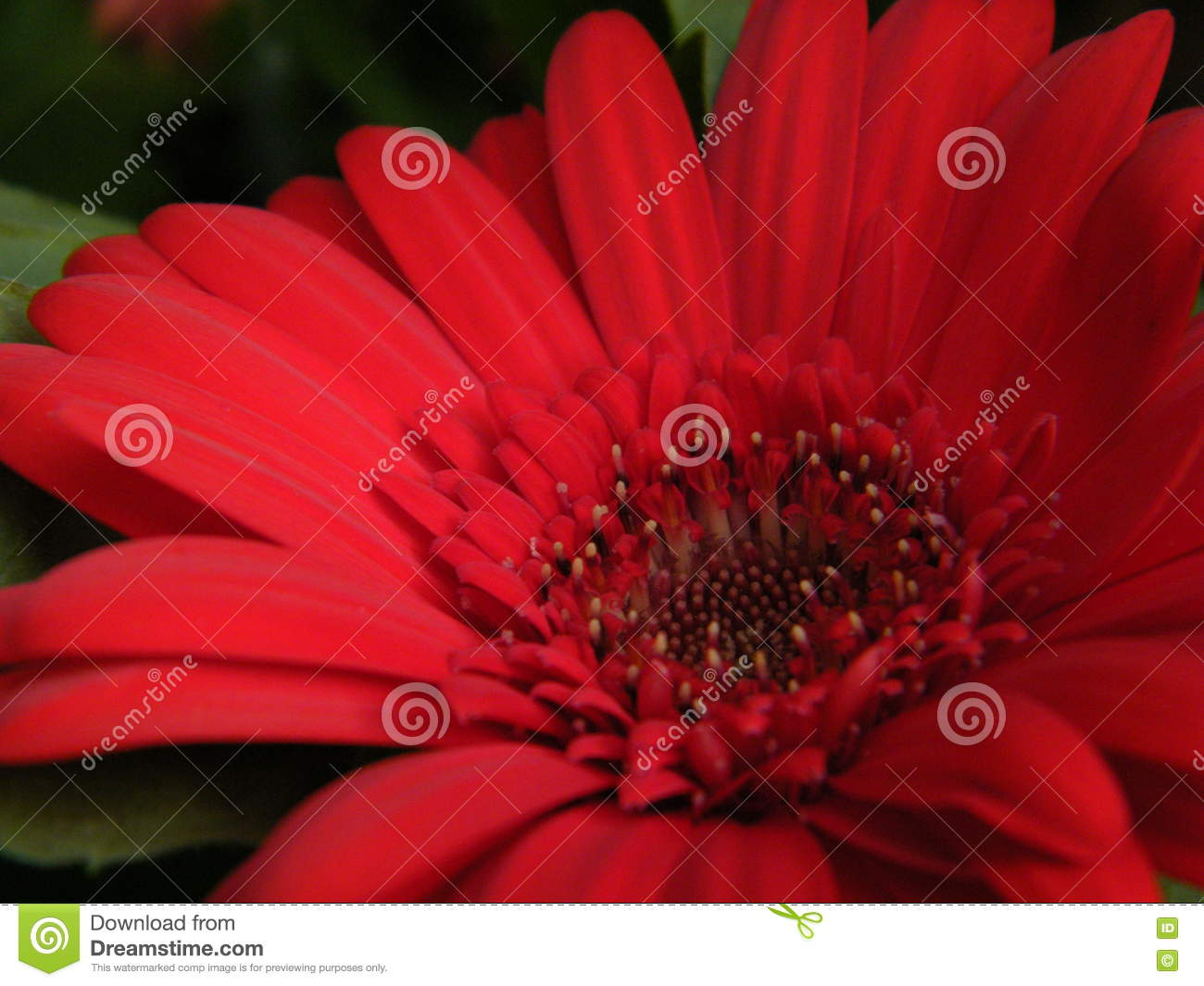 Close Up Of Red Gerber Daisy Flower Blossom Bloom Petal Stock Photo