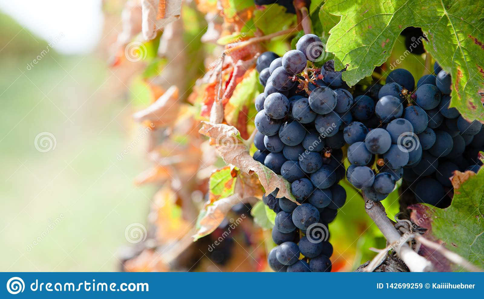 Close up on red grapes in a vineyard in late summer short before harvest.