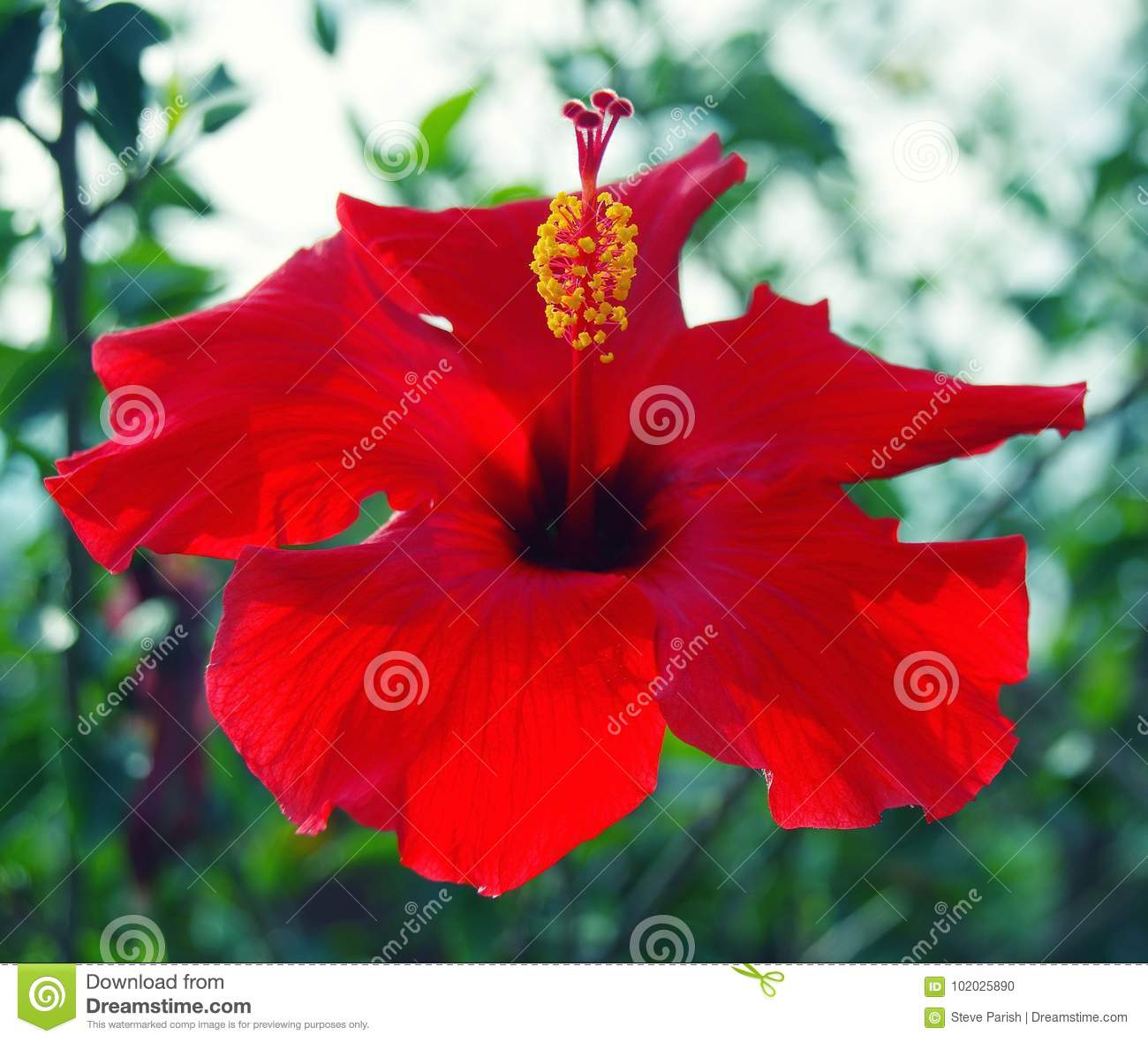 Close Up Of Red Hibiscus Flower Blossom With Yellow Stamen And Deep