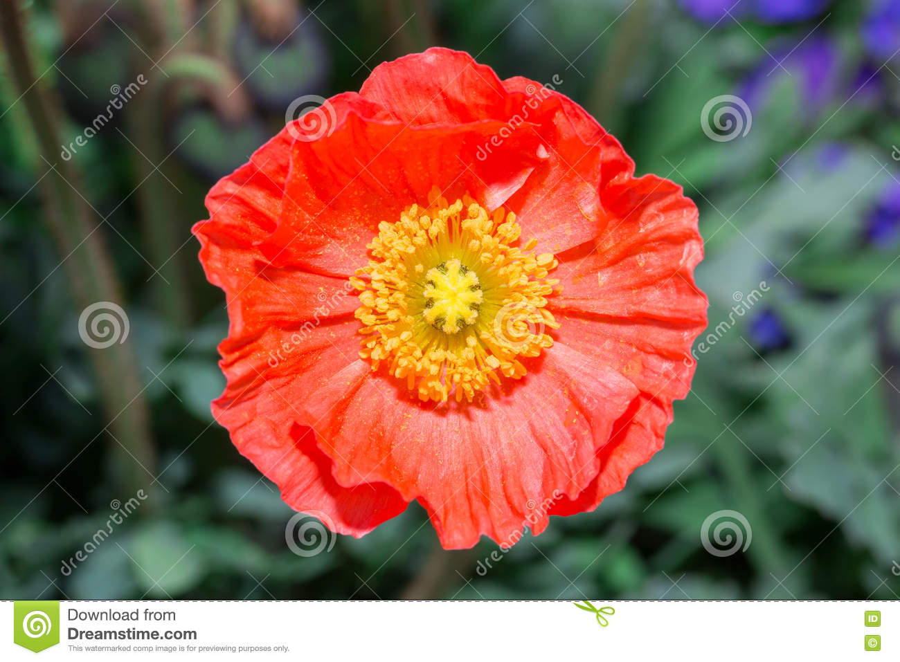 Close Up Of A Red Iceland Poppyscientific Name Papaver Nudicaul