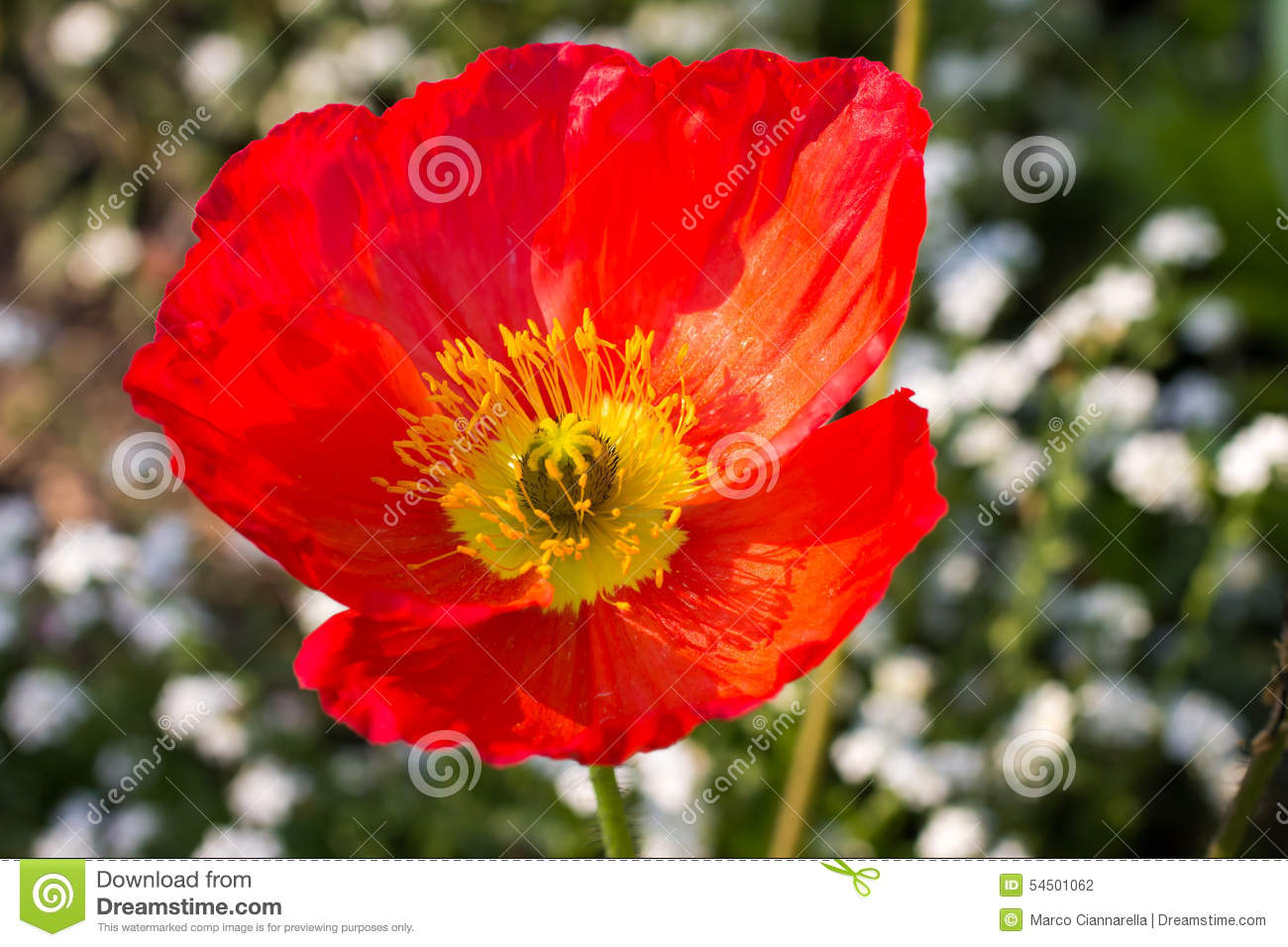 Close Up Of A Red Iceland Poppy Stock Photo Image Of Garden
