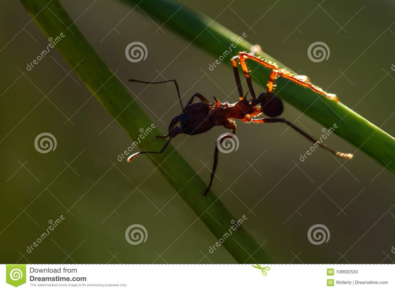 Leaf cutter ant stock image  Image of armor, crops
