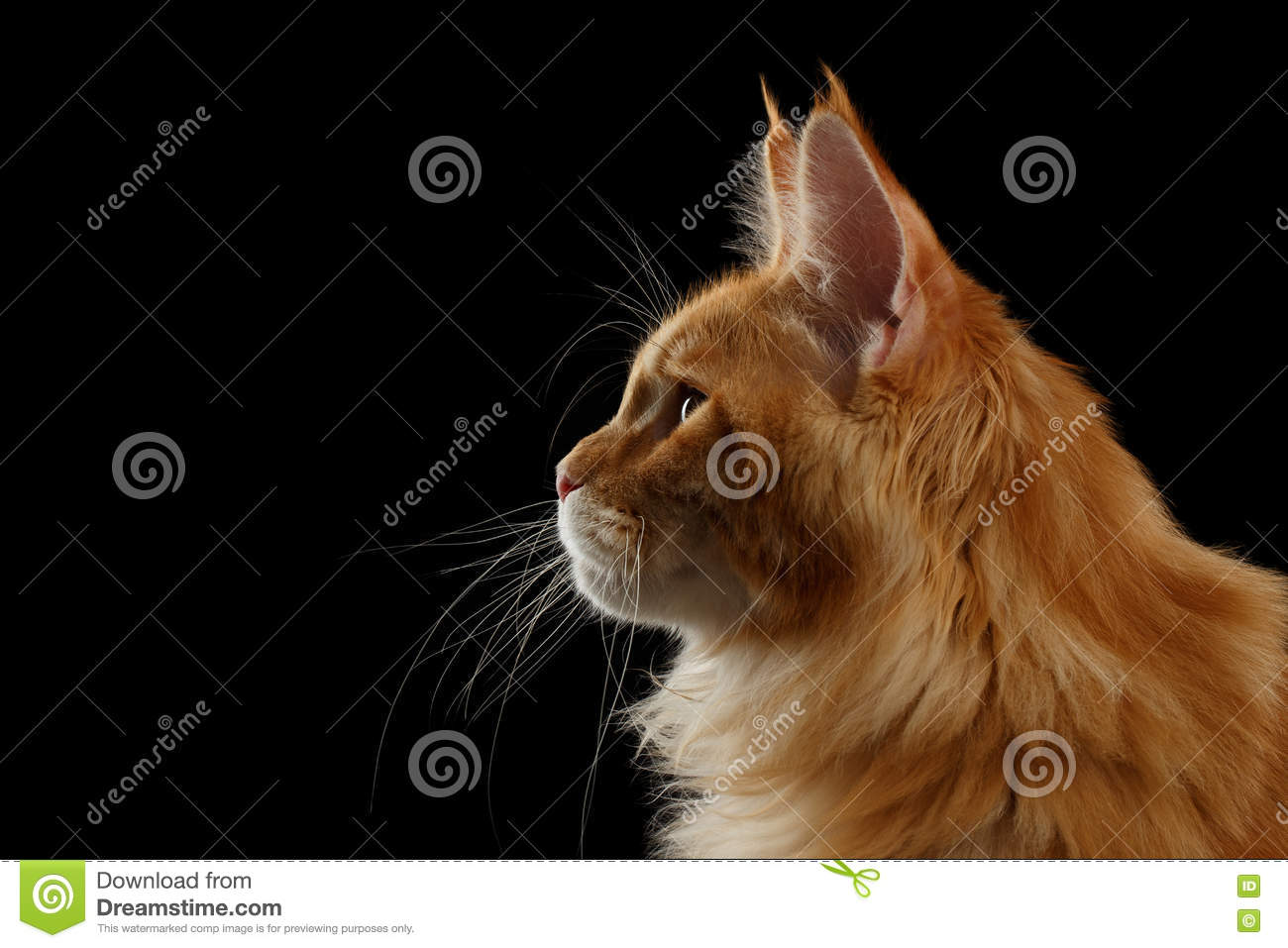Close-up Red Maine Coon Cat In Profile View, Isolated ...