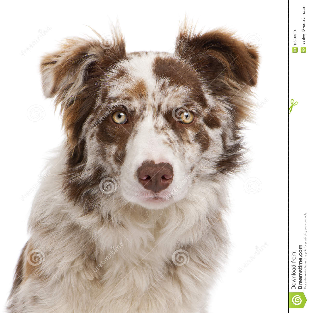 Close-up Of Red Merle Border Collie Royalty Free Stock ...