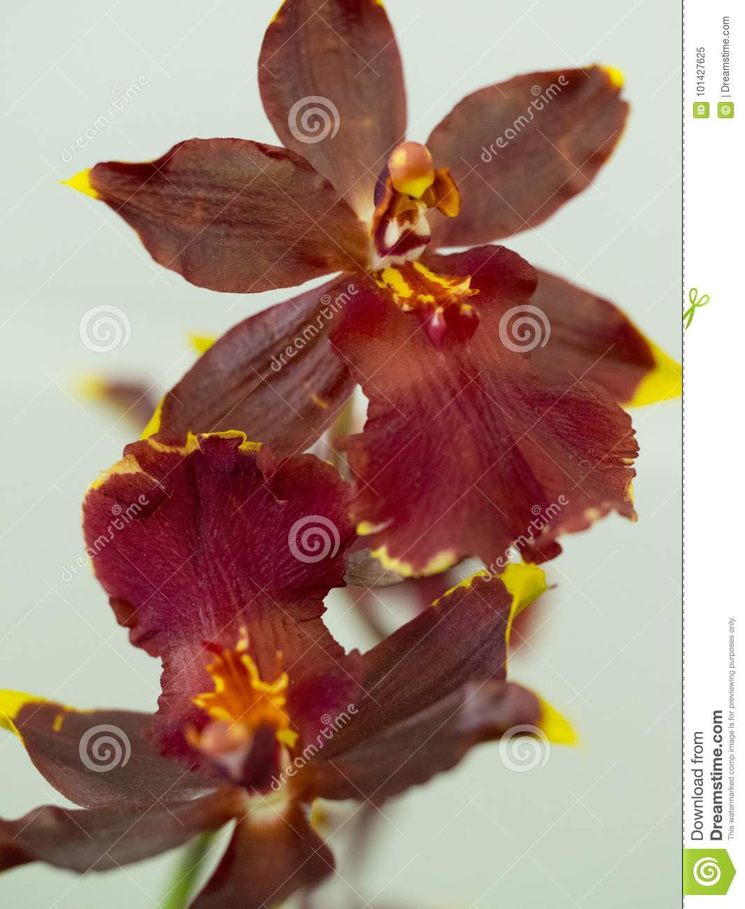 Red Oncidium Orchid Stock Image Image Of Scenic Tips 101427625