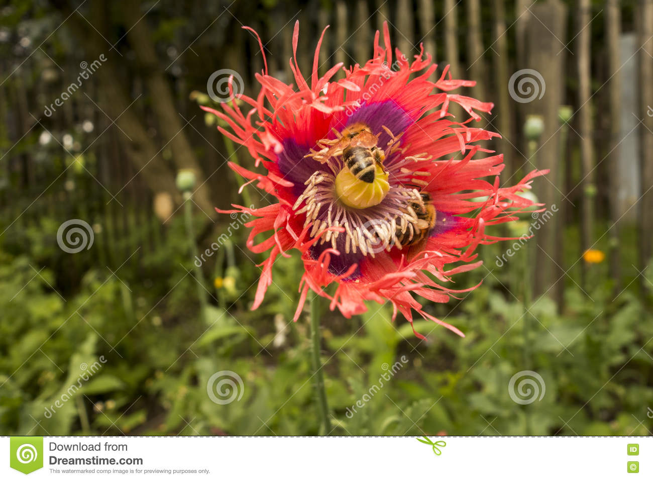 Close Up Red Opium Poppy Flower Stock Photo Image Of Natural