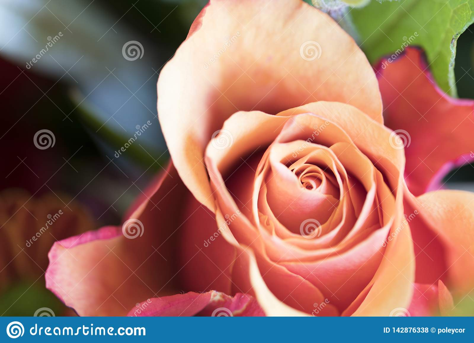 Close up red orange rose