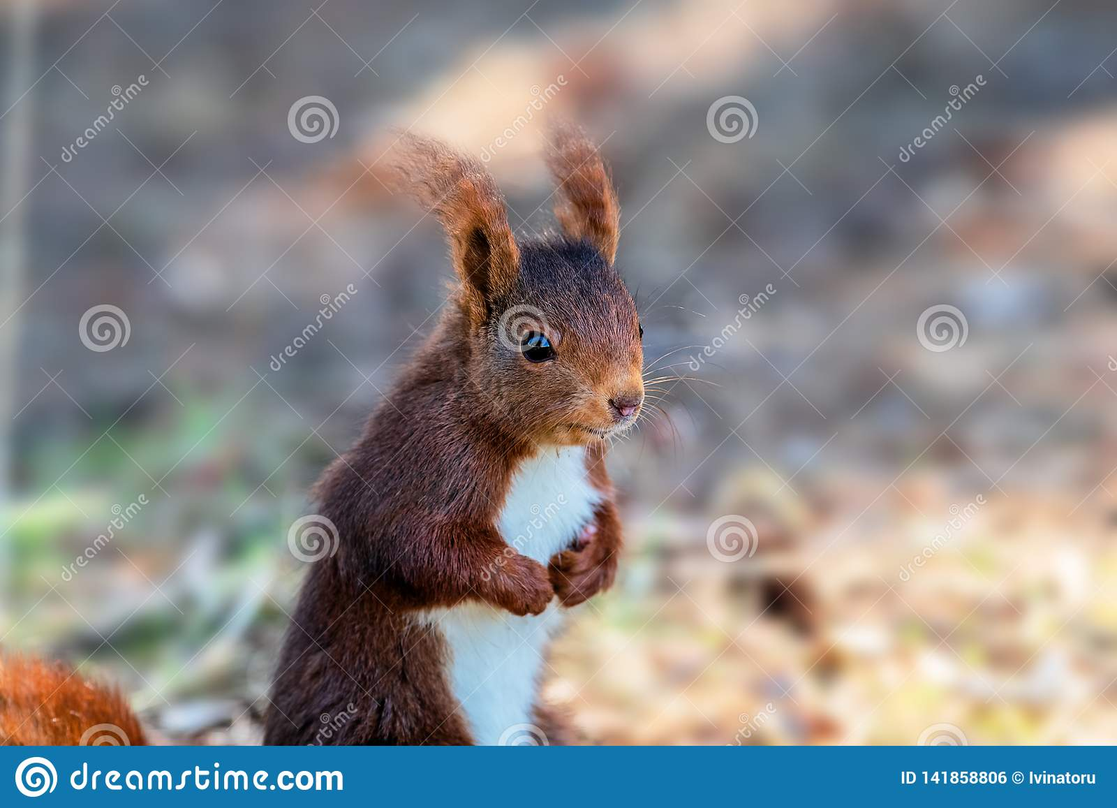 Close up red squirrel sitting in a natural park