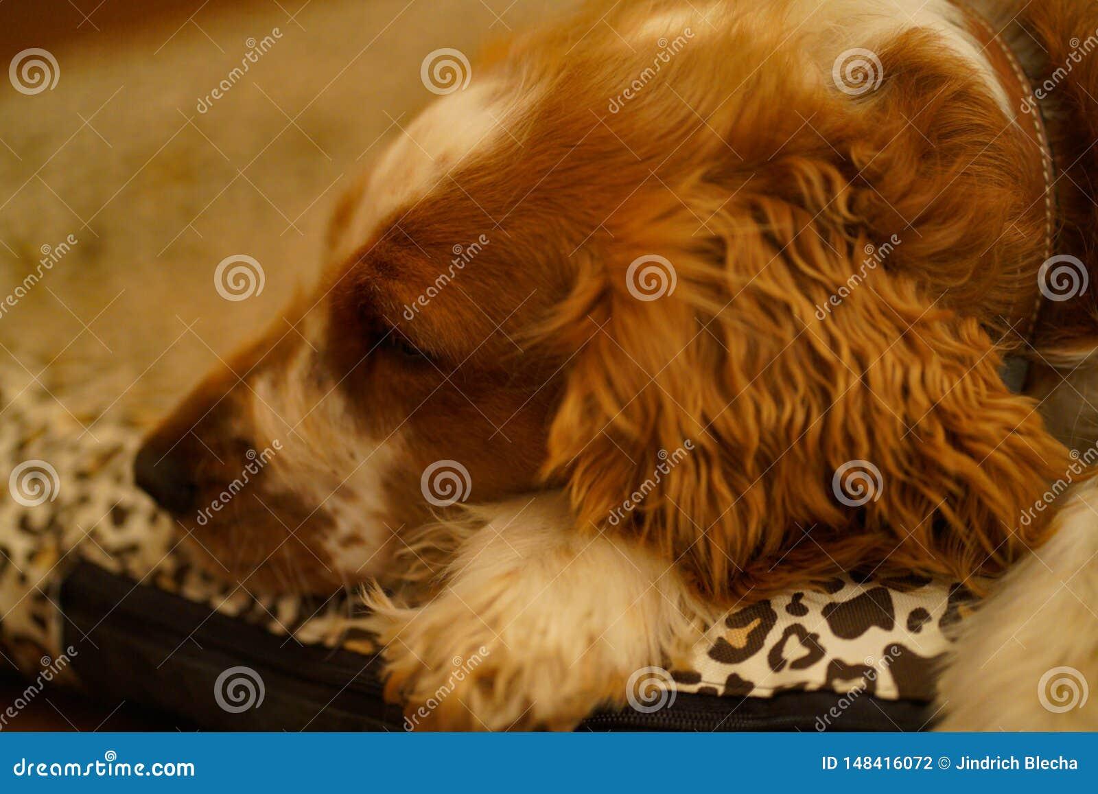 Resting welsh springer spaniel dog