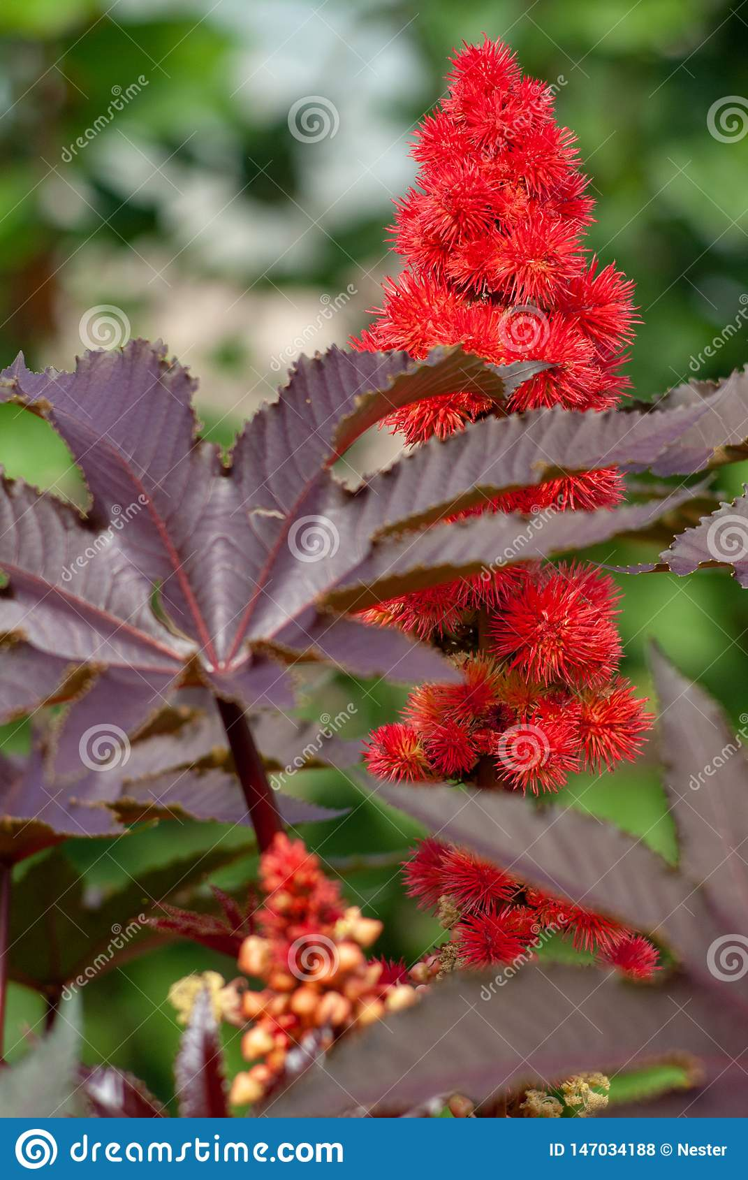 Castor bean. close up .Ricinus