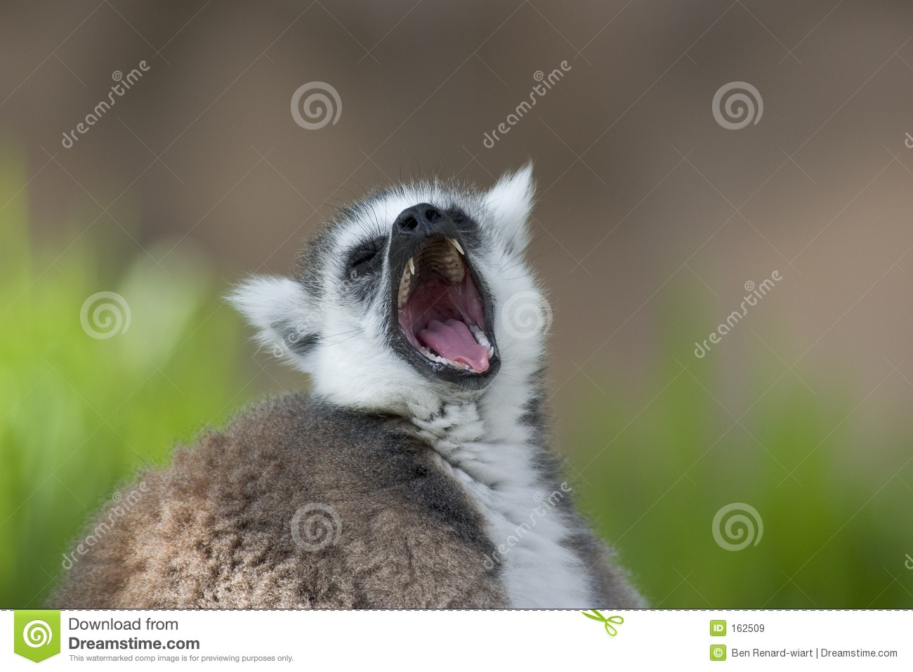 Close up of a Ring tailed Lemur