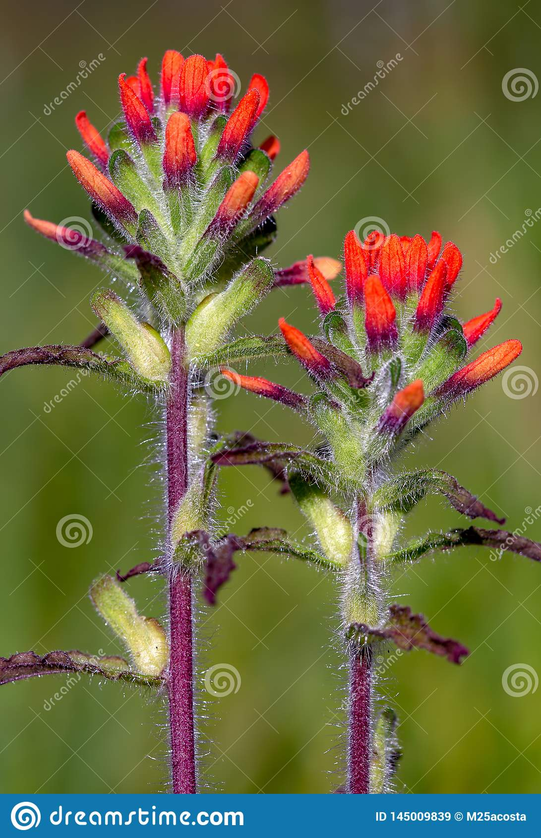 Close-up of scarlet Indian paintbrush flowers