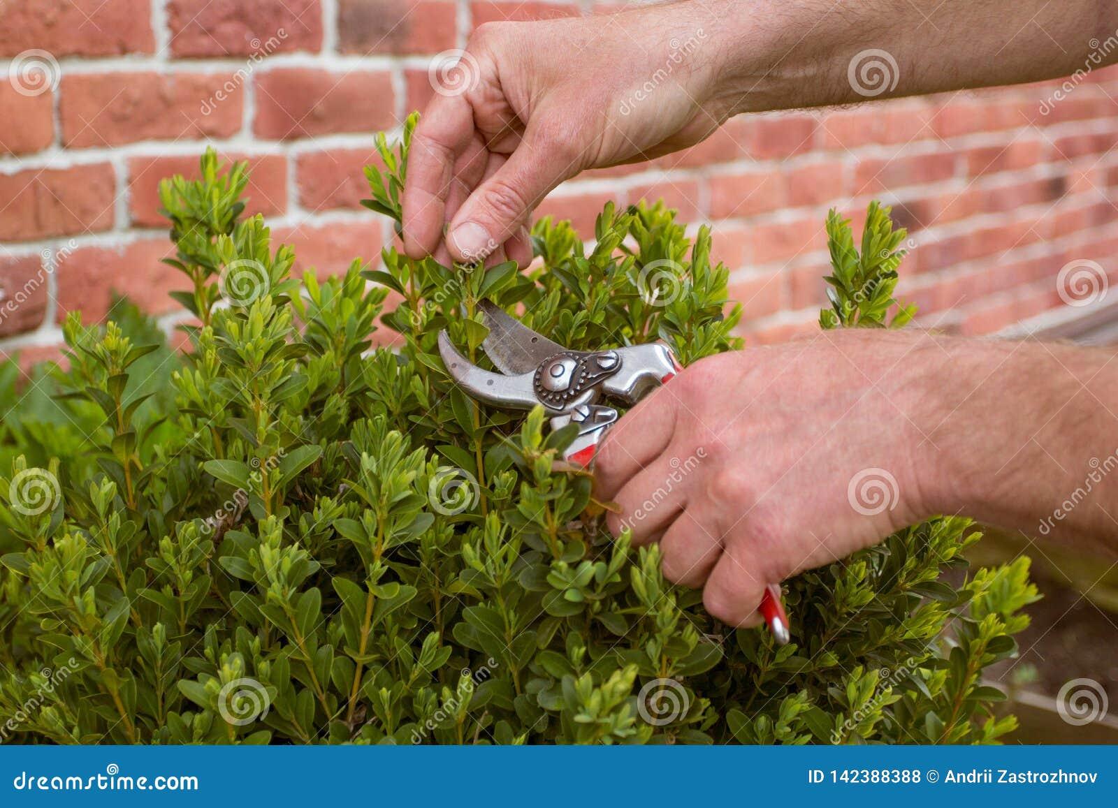 Close-up Scharen van de handen de tuinman gesnoeide struik