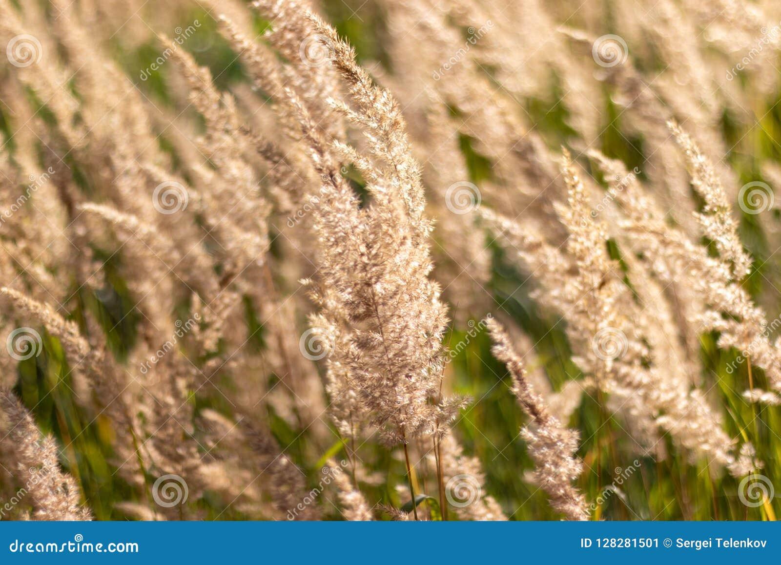 Close-up seco da grama da pena da erva Curvaturas da grama sob o vento
