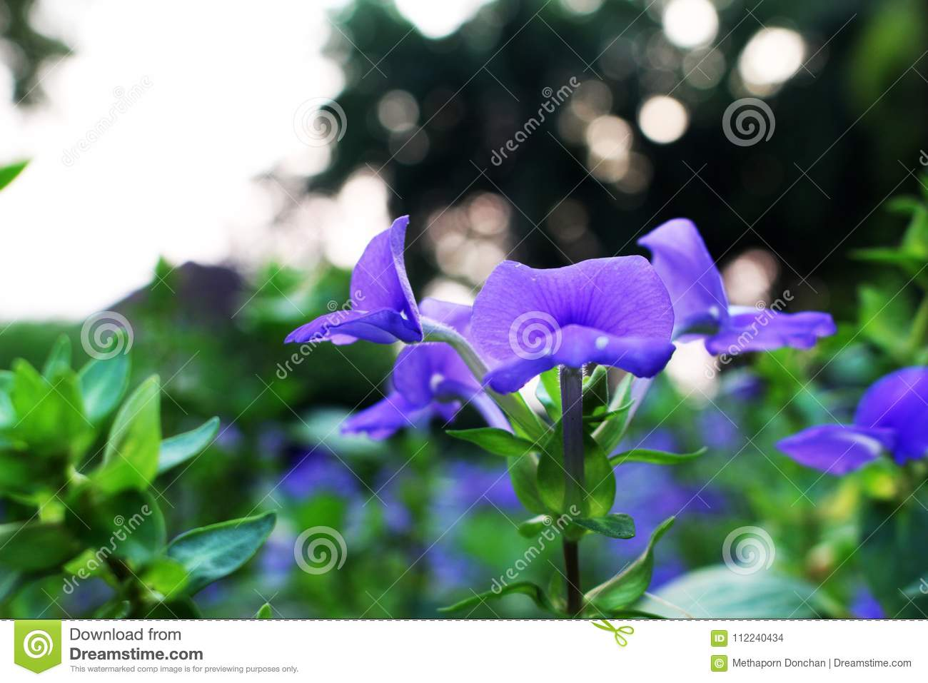 Close Up And Selective Focus With Violet Or Purple Colors Of