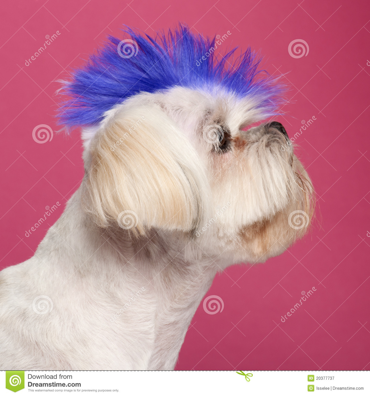 Close-up Of Shih Tzu With Blue Mohawk Royalty Free Stock ...