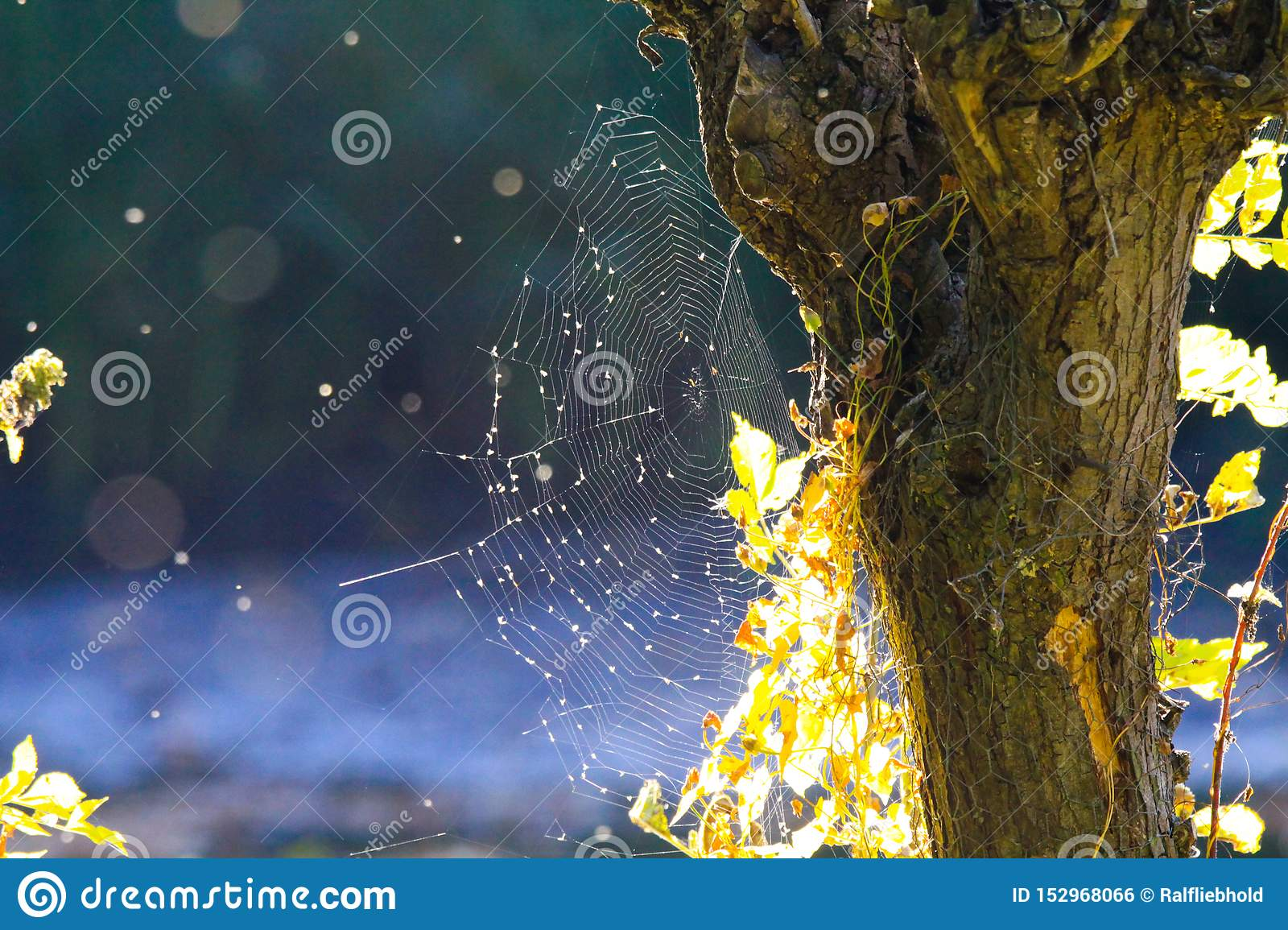 Close up of shining spider web at tree trunk bark with bright glowing leaves in autumn sun blurred blue background near Roermond,