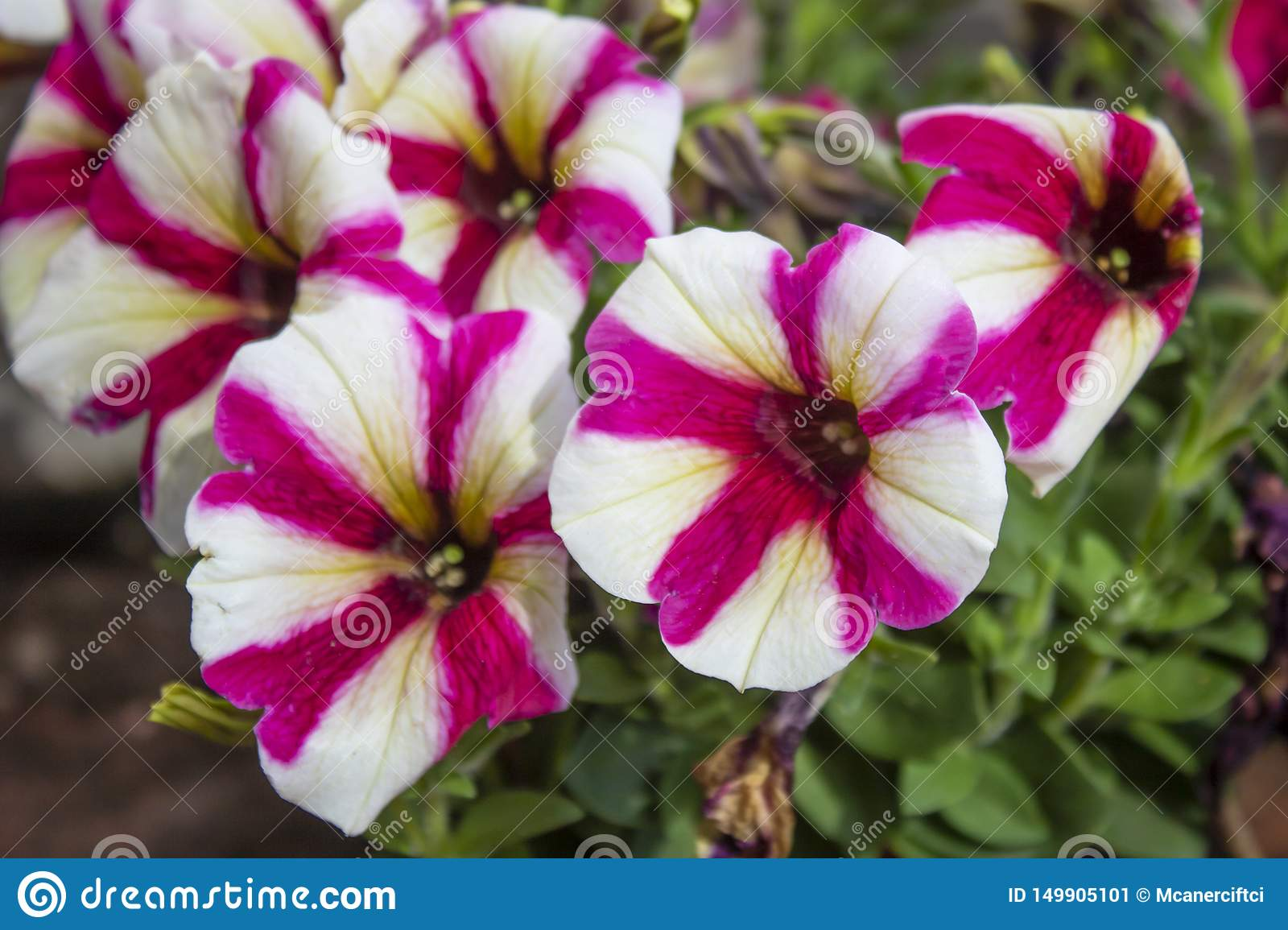 Close Up Shoot Of Petunia Amore Flower Stock Image Image Of