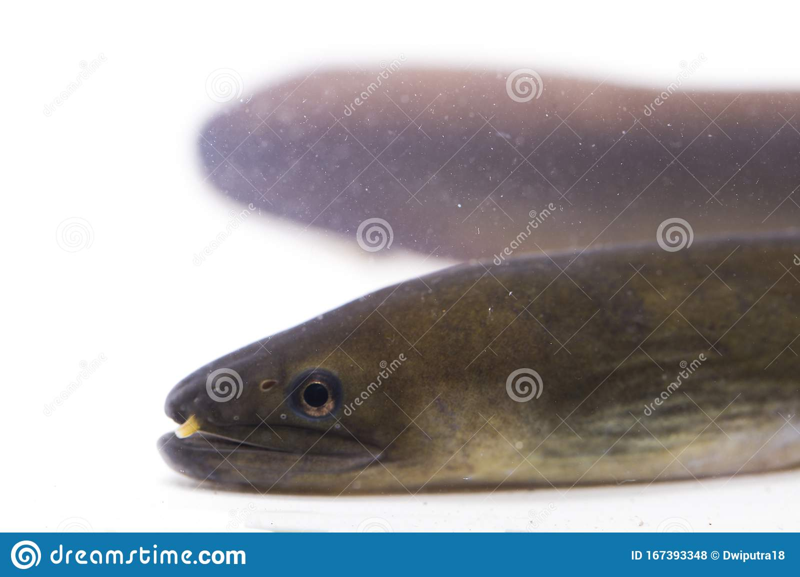 Close Up Of Shortfin Eel ,Anguilla Bicolor Isolated On White Stock Photo