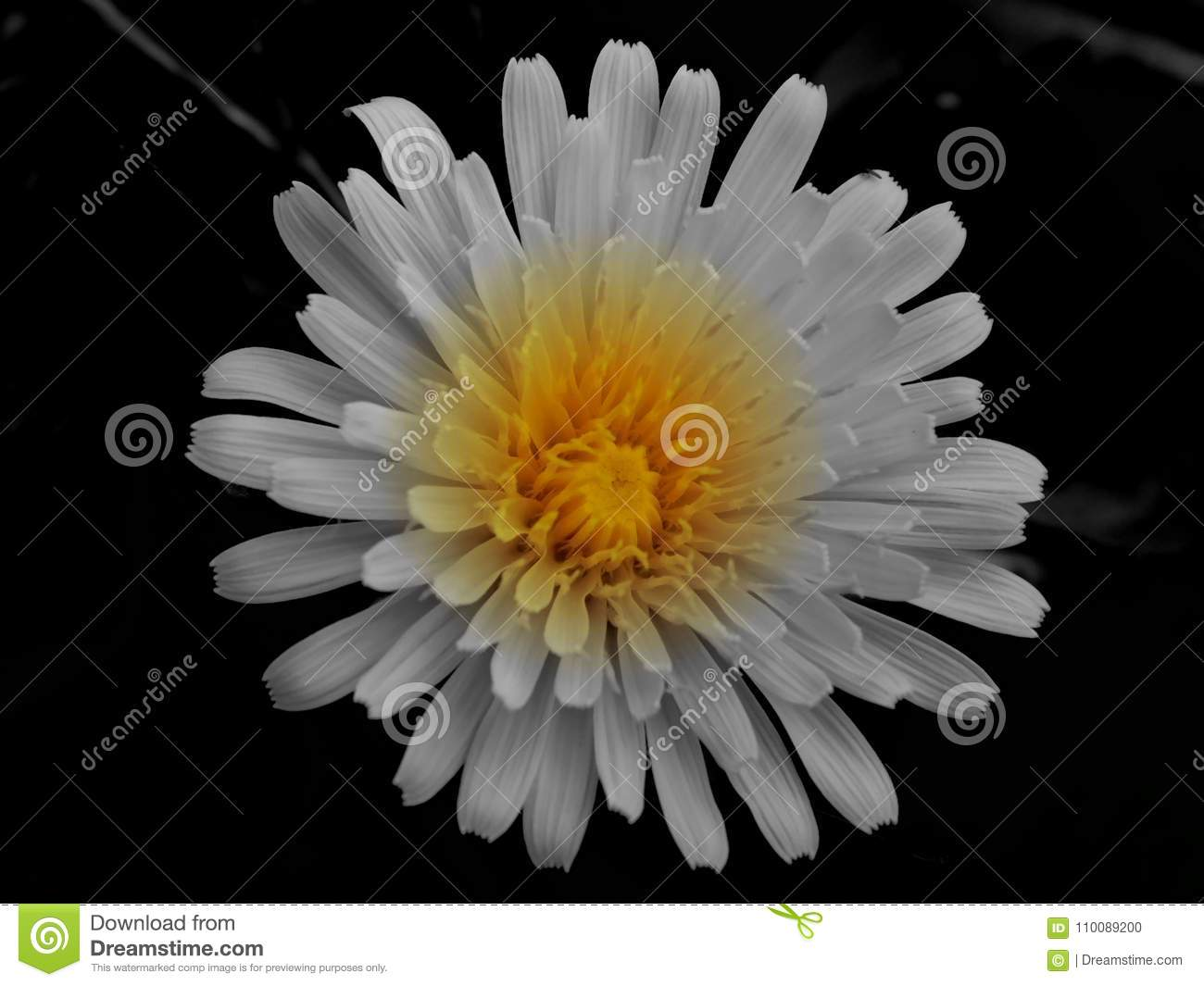 White flower with yellow middle stock photo image of summer white flower with yellow middle mightylinksfo
