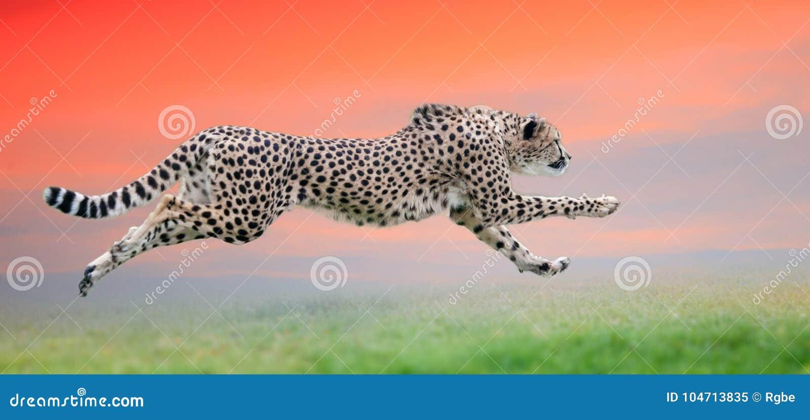 Cheetah run at beautiful sunset