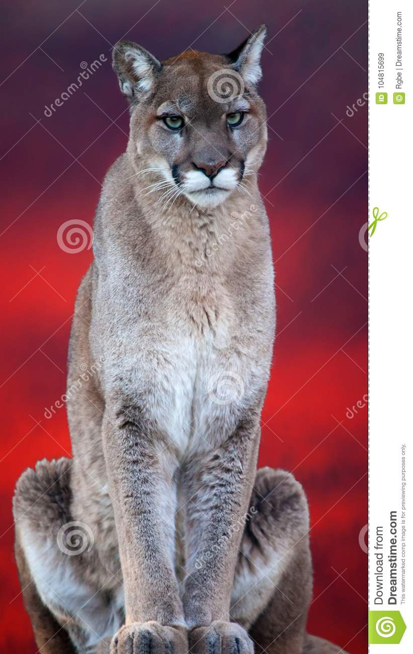 Cougar stand on the top of rock