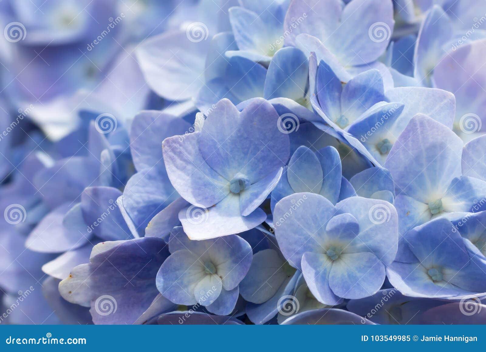 Macro blue and purple hydrangea stock image image of sprng nature download macro blue and purple hydrangea stock image image of sprng nature 103549985 izmirmasajfo