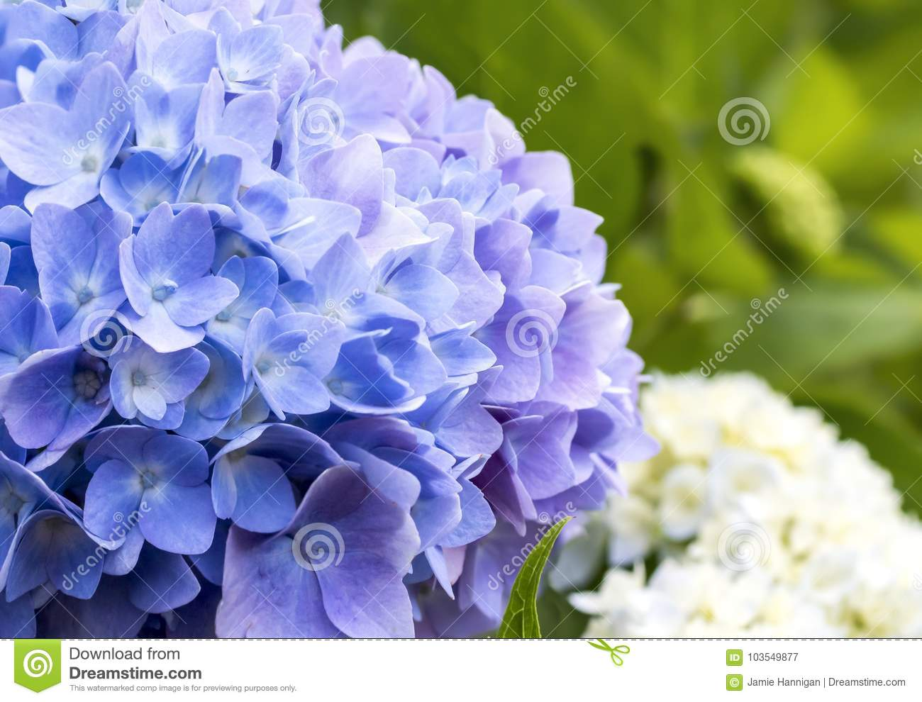 Macro blue and purple hydrangea with white in background stock image download macro blue and purple hydrangea with white in background stock image image of close izmirmasajfo