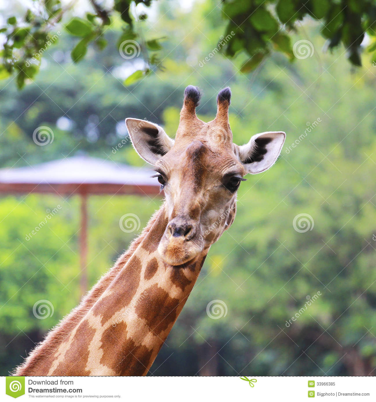 Giraffe head close up - photo#27