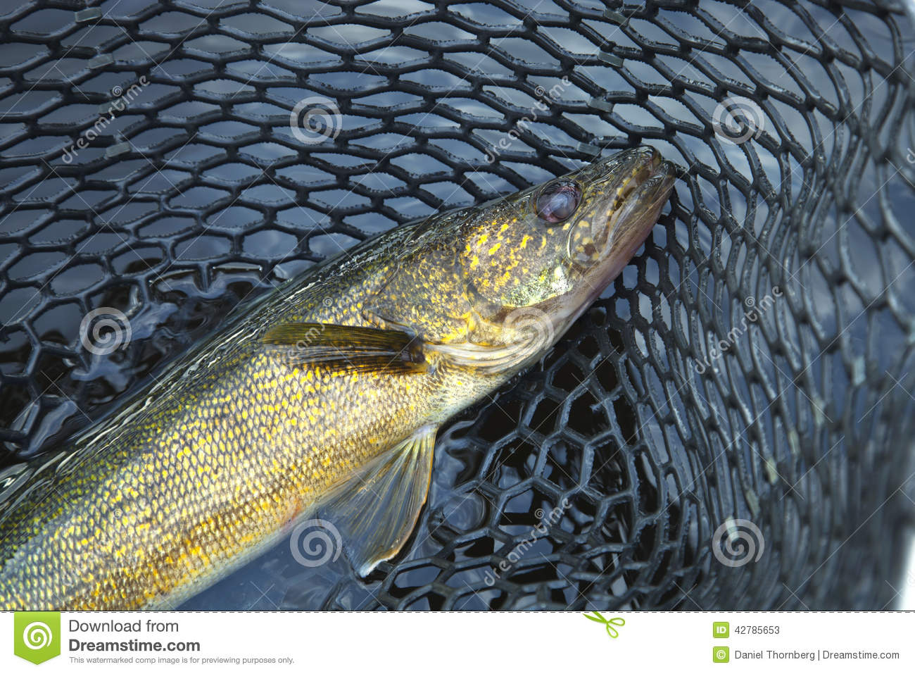 Close up shot of nice walleye in a fishing net stock photo for Fishing in minnesota