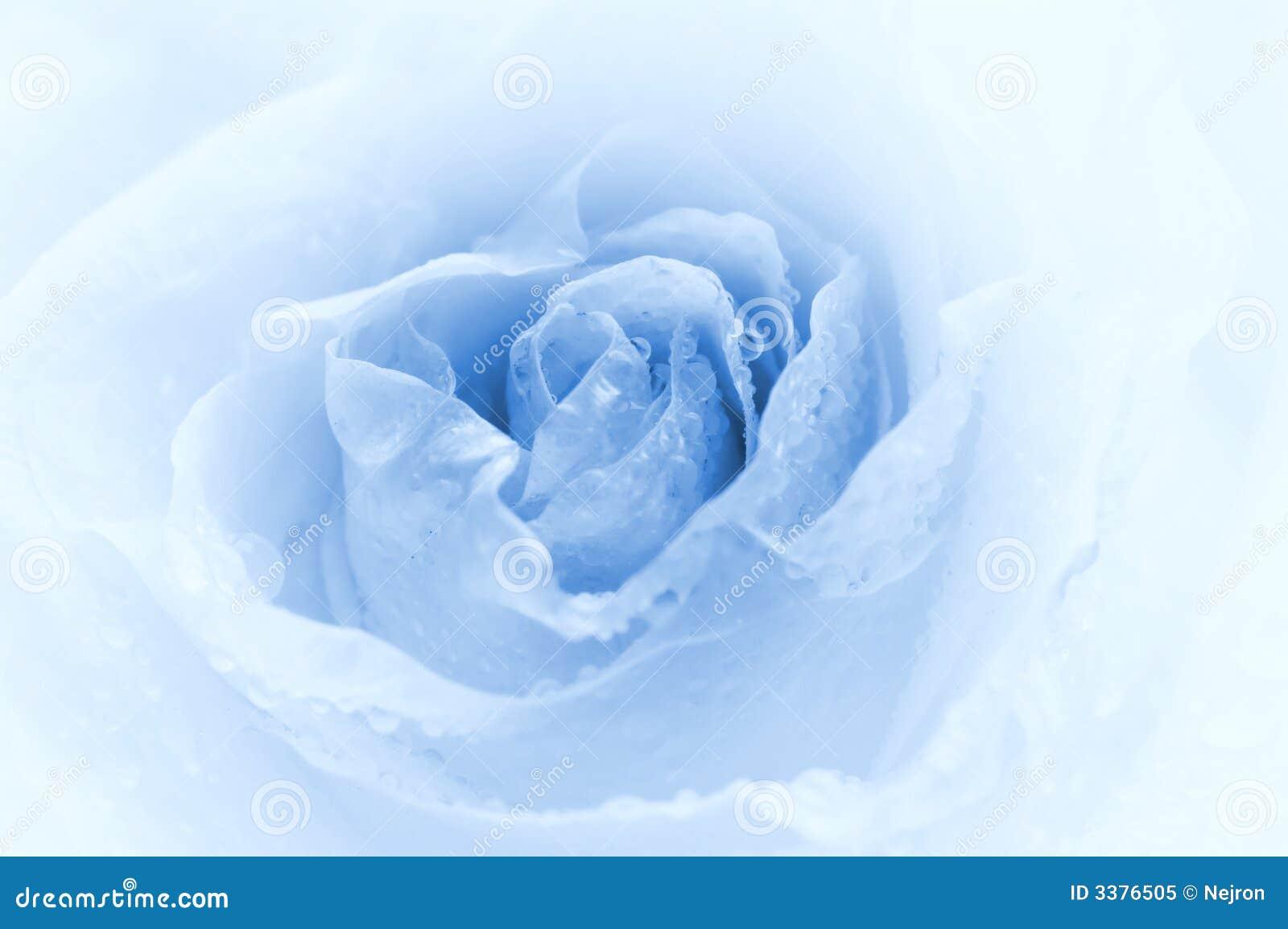 Close-up shot of a rose