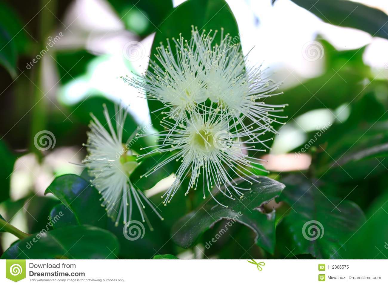 Australian Native Bush Lilly Pilly Flowers Stock Image Image Of
