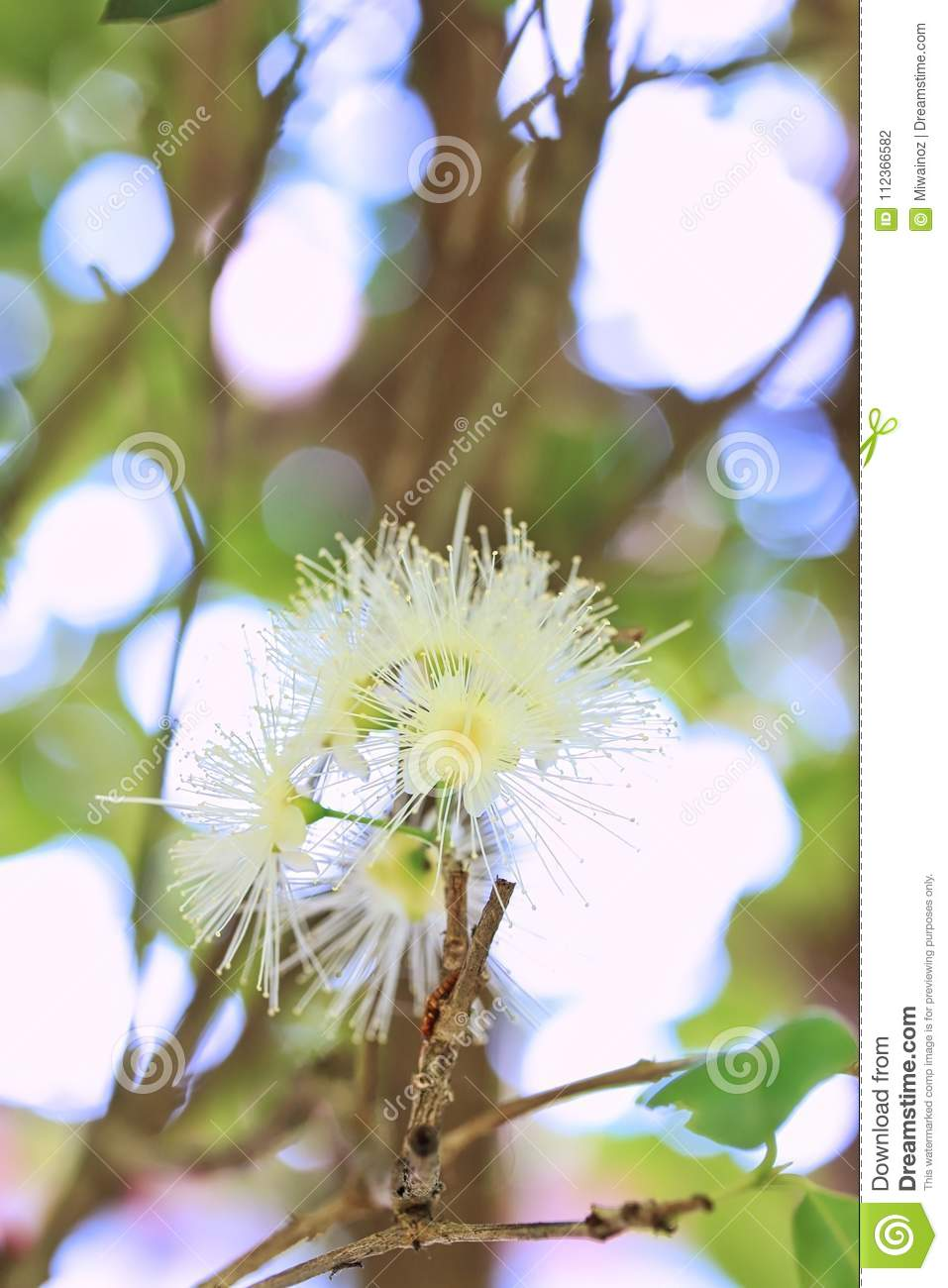 Australian Native Bush Lilly Pilly Flowers Stock Photo Image Of