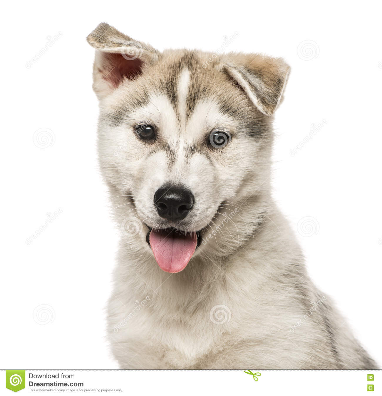 Close Up Of Siberian Husky Puppy Isolated On White Stock Image