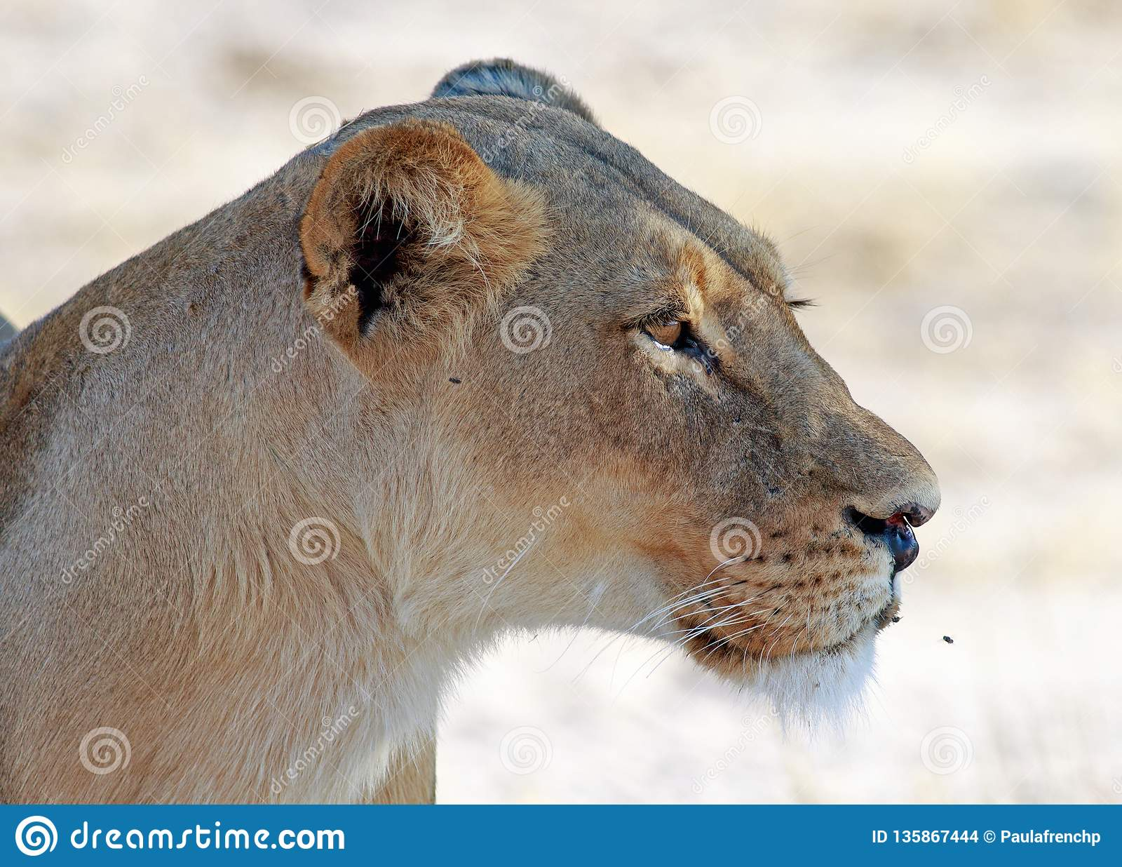 Close up side profile of an African Lioness with a clear background in Hwange